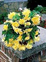 Begonia kaskadowa żółta