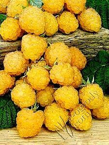 Malina żółta Poranna Rosa