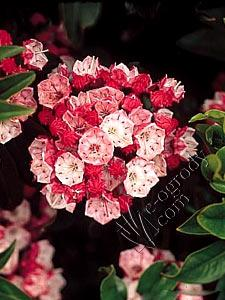 Kalmia Heart of Fire