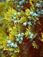 Cyprysik Golden Wonder