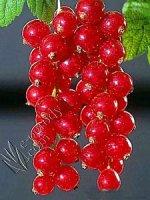 Porzeczka czerwona Tatran