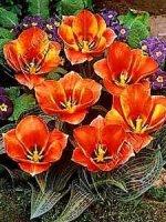 Tulipan  Corsage