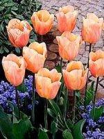 Tulipan Apricot Beauty