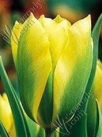 Tulipan Formosa