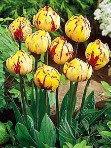 Tulipan Golden Nizza