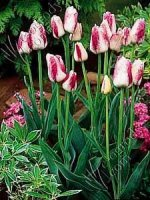 Tulipan  Colour Spectacle