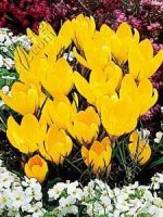 Krokus Golden Yellow