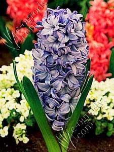 Hiacynt Delft Blue