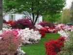 Ogród pełen azalii