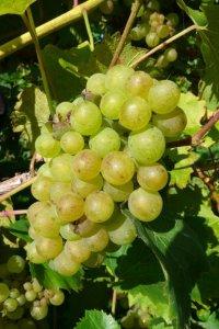 Białe winogrona