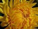 Wielkokwiatowa chryzantema