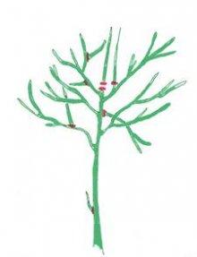 Cięcie drzew o kształcie klasycznym