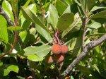Drzewo truskawkowe