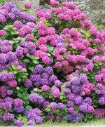 Kolorowe hortensje w ogrodzie