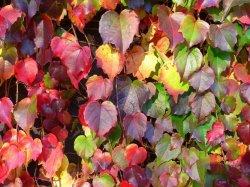 Liście przebarwiające się jesienią