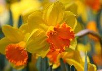 Kwiat narcyza