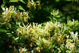 Wiciokrzew japoński