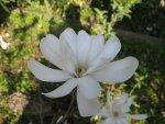 Kwiat magnolii gwieździstej