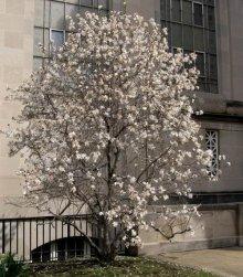 Magnolia gwieździsta
