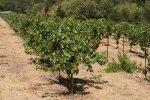 Plantacja winorośli