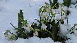 Śnieżyca wiosenna (Śnieżyczka)