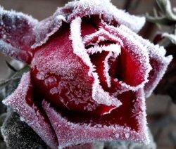 Róże zimą
