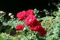 Róża ogrodowa
