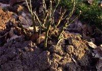 Wiosenne cięcie krzewów