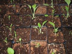 Siewki roślin
