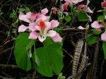 Storczykowiec różowy