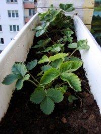 Truskawki na balkonie