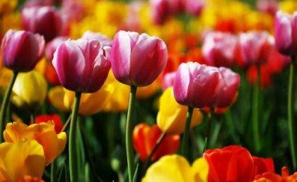 Tulipany w kwietniu