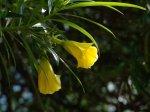 Żółty oleander